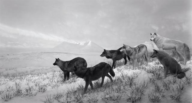 画像: 〈ジオラマ〉シリーズ 自然史博物館の剝製と背景画でできた情景を大判カメラで撮り、まるで現実の風景のように見せる。 《Alaskan Wolves》1994 ©HIROSHI SUGIMOTO/COURTESY OF GALLERY KOYANAGI