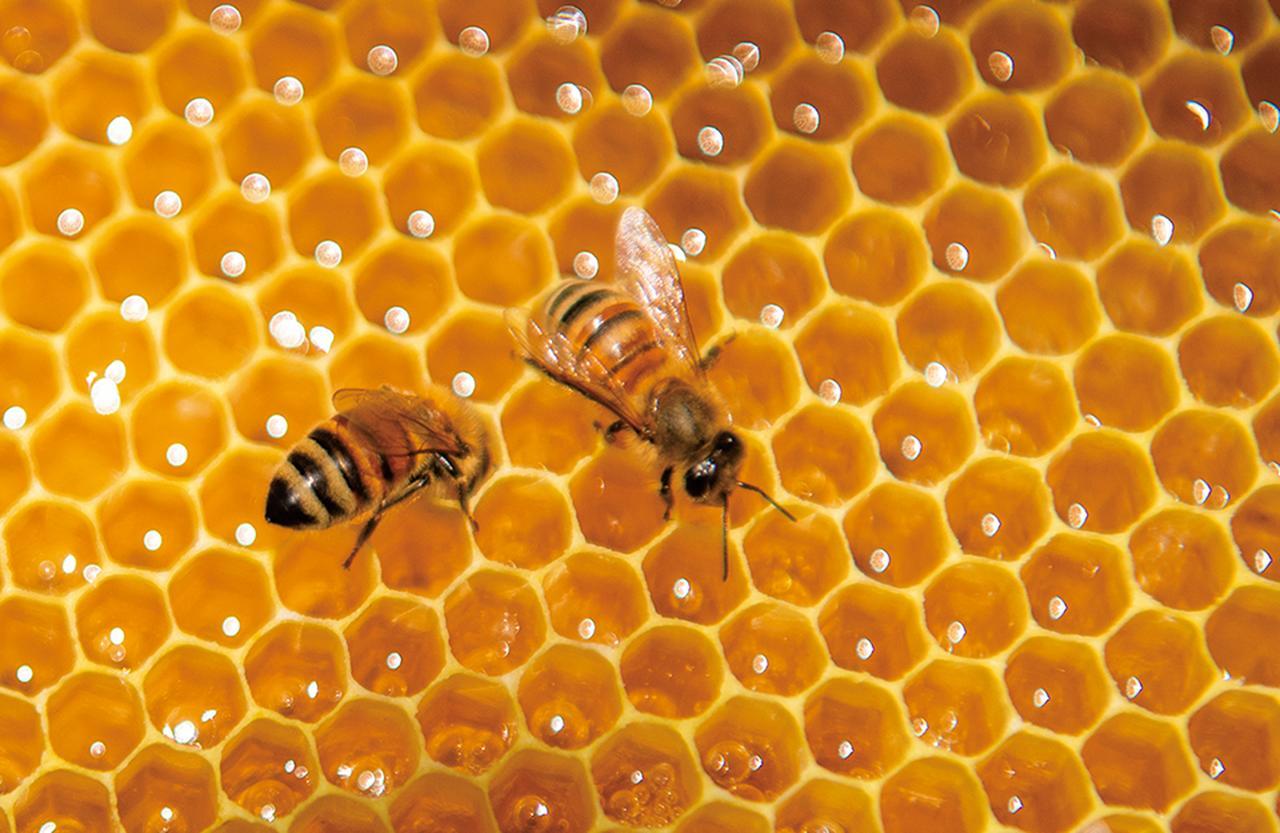 Images : セイヨウミツバチ