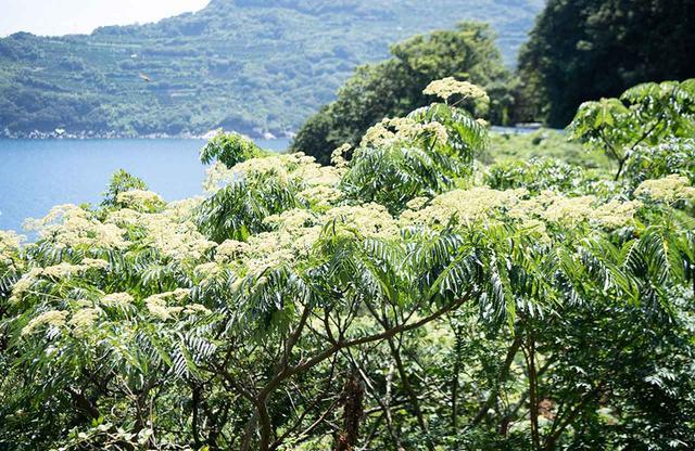 画像: カラス山椒の群生。一種類の花でも場所によって咲く時期がずれるため、長期間の蜜の採集が可能