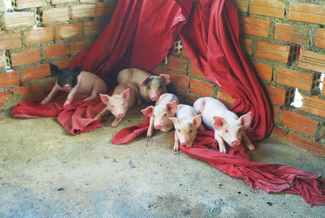 画像: 「元手があれば子豚を数匹買うことができる。半年後には買値の4倍の値段で売れる」 PHOTOGRAPH BY TAEJUN SHIN ほかの写真をみる
