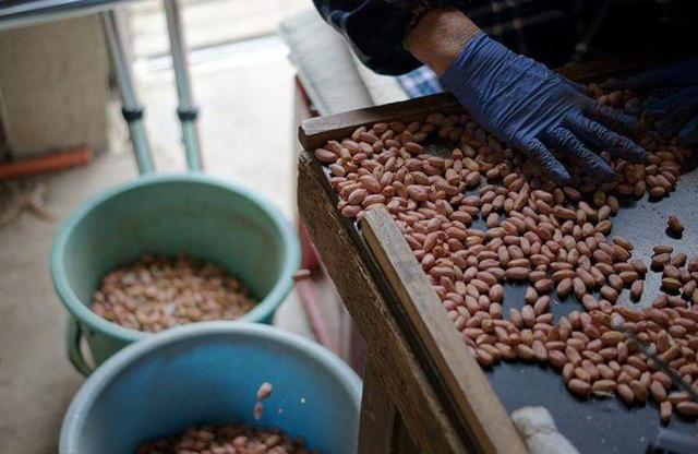 画像: 目でピーナッツペーストに使用するピーナッツを識別する COURTESY OF BOCCHI