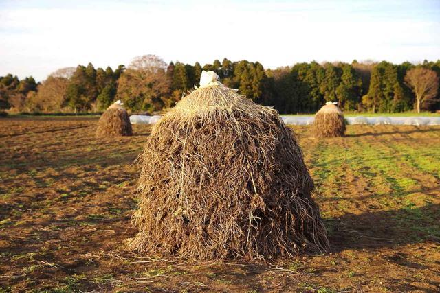 画像: 落花生の生産地特有の秋の風物詩。収穫した落花生を根がついたままで重ね、天日干しする COURTESY OF BOCCHI