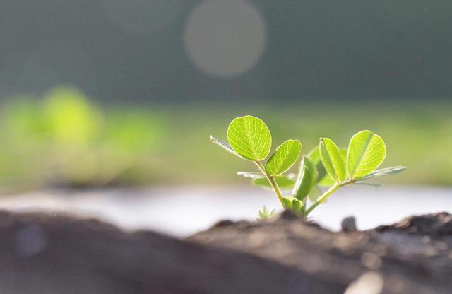 画像: 5月の落花生の芽吹き。楕円形の葉は夜には閉じるという習性がある COURTESY OF BOCCHI