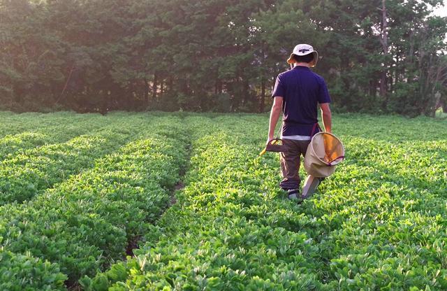 画像: 育てている品種は、在来種の千葉半立、ナカテユタカ、郷の香の三種類。除草剤を使用していないため、草取りをまめに行う COURTESY OF BOCCHI