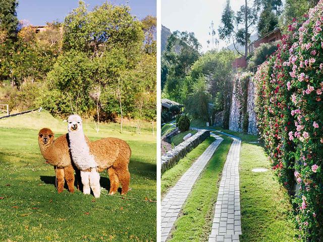 画像: (左)日がな一日、草を食んで過ごすラマは、「ベルモンド・ホテル・リオ・サグラド」の宿泊客にもかわいがられている (右)沿道に花が植えられた、「ベルモンド・ホテル・リオ・サグラド」の客室に通じる小道