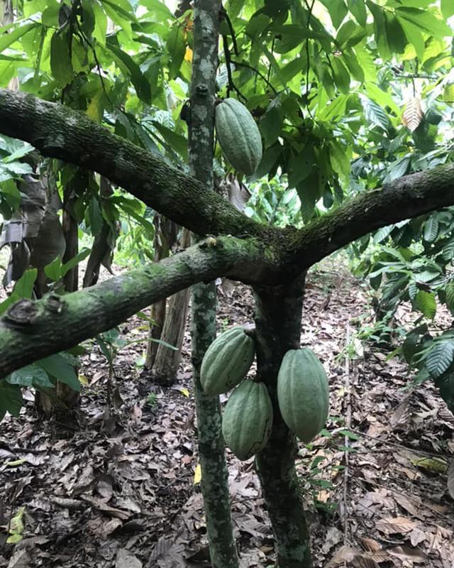 画像: ヤシの木などと一緒に植えることで木陰ができ、カカオが強い日差しから守られ、害虫予防にもなる。大規模農園ではカカオ単一栽培がメインで、農薬や化学肥料を使っているため土地が疲弊する。持続可能なカカオ栽培のためにも、森を守ることが大切だ