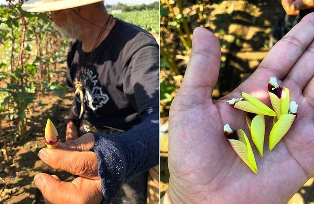 画像: (左)オクラのつぼみ。 (右)花弁を解体すると鮮やかな黄色と朱色、白のコントラストが美しい