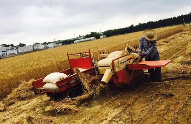 画像: 力強い味わいの在来品種のイタリア小麦の収穫。パン職人やイタリア料理店に出荷される COURTESY OF ECO FARM ASANO