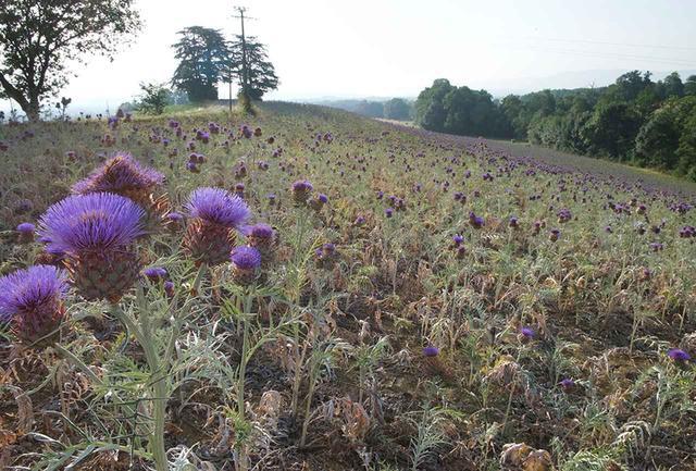 画像: フランス「シリウス」社の代表、ジル・バートゥミュウ氏がピレネー一帯の在来種を研究するなかで、カルドン(西洋アザミ)の種子からとれるシナラオイルの有用性を発見。8ヘクタールもの畑で収穫した種を、自社工場で過熱をしないコールドプレス製法で抽出している COURTESY OF SIRIUS