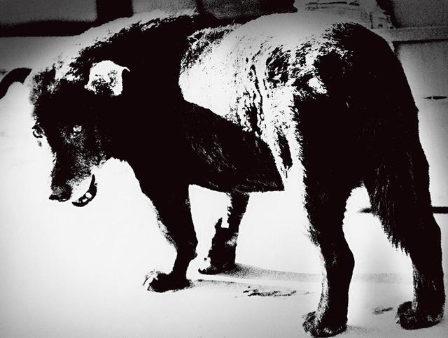 画像: 米軍基地のある街・三沢で撮影した犬の写真。通称「三沢の犬」として知られている(1971年) © DAIDO MORIYAMA PHOTO FOUNDATION