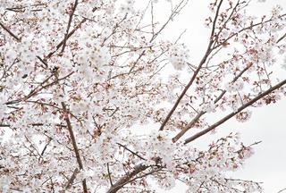 《再生の塔》の丘に咲いた桜の花