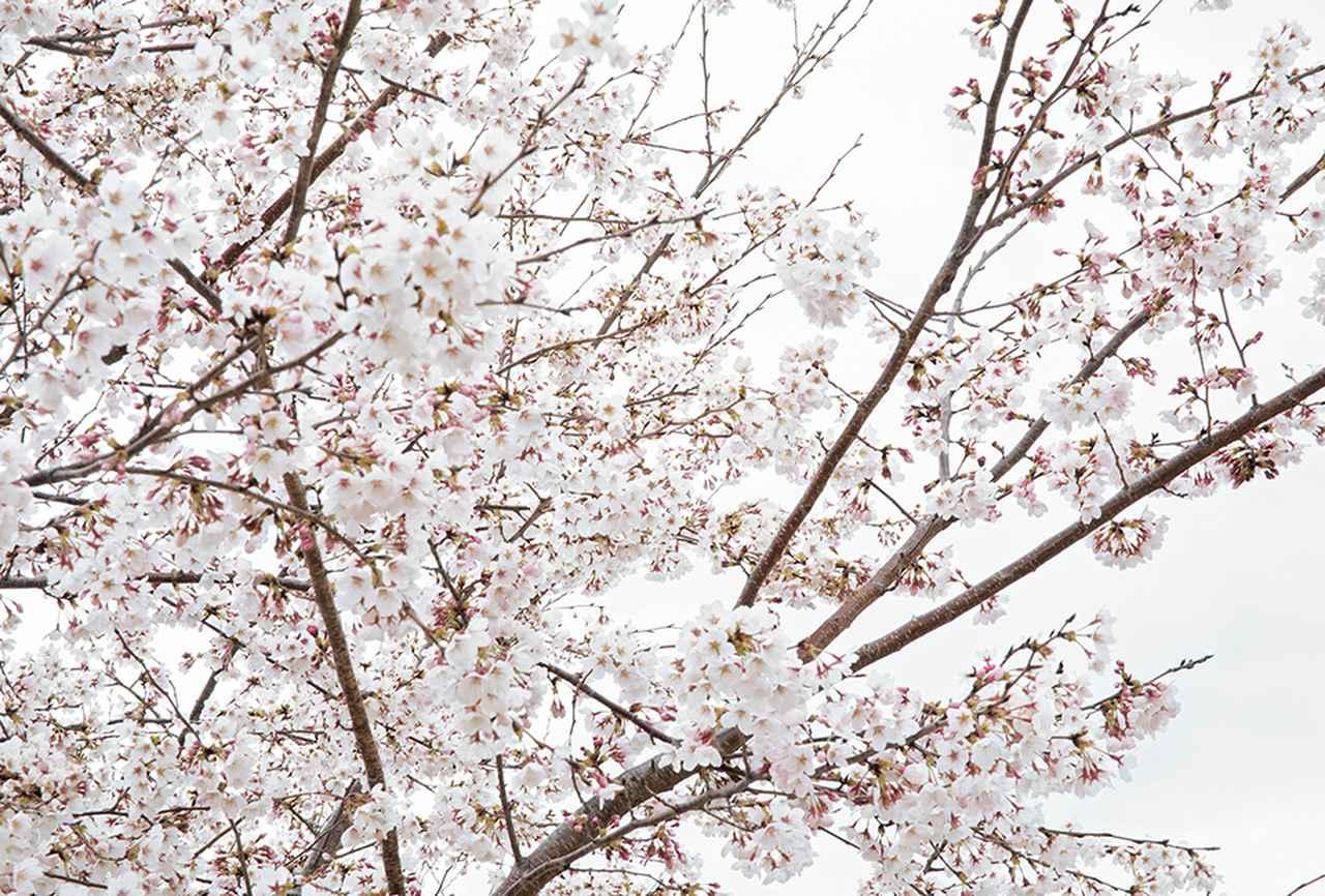 Images : 《再生の塔》の丘に咲いた桜の花