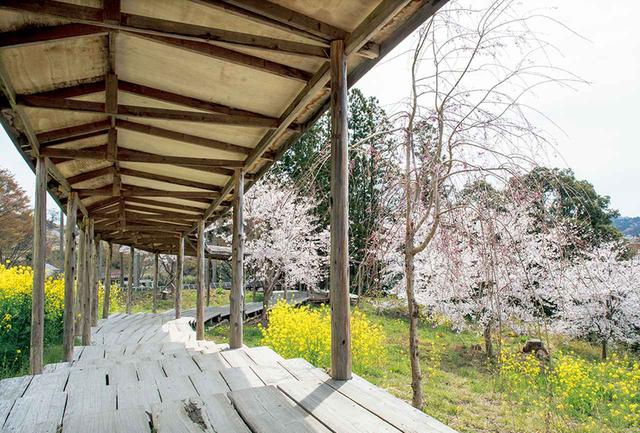 画像: 毎年9月に志賀がボランティアと種まきする菜の花も、満開の桜に色を添える