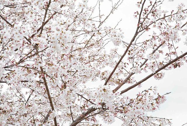 画像: 《再生の塔》の丘に咲いた桜の花