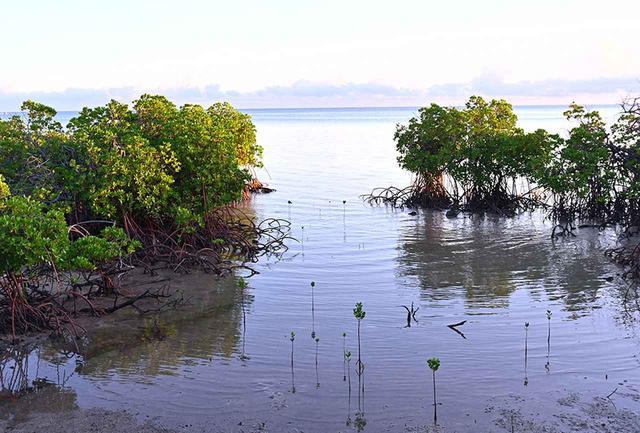 画像: マングローブは海と陸の喫水域で酸素を産む