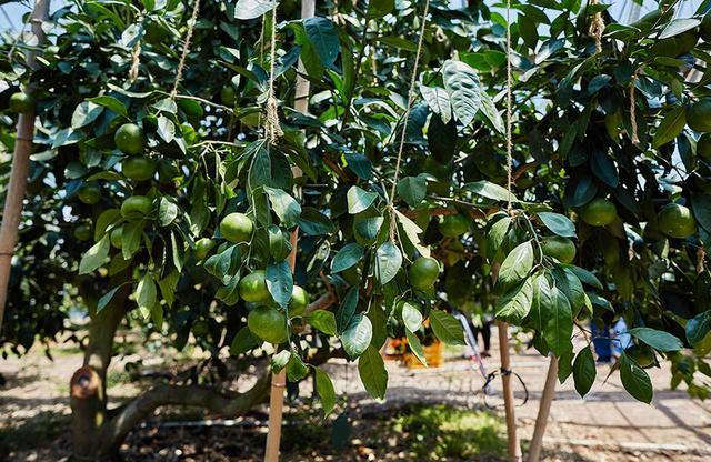 画像: 夏に出荷されるハウス栽培の温州みかん。紐で補強することで木の負担を減らし、数多くのみかんを育てることができる