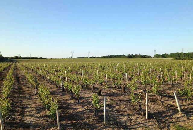 画像: オー・メドック地区にある畑。「ル オー メドック ド ラグランジュ」のブドウはここで育つ。サン・ローラン村の畑のカベルネ・ソーヴィニヨンは樹齢40年を迎え、凝縮してまろやかな味わいのブドウになるという COURTESY OF CHÂTEAU LAGRANGE