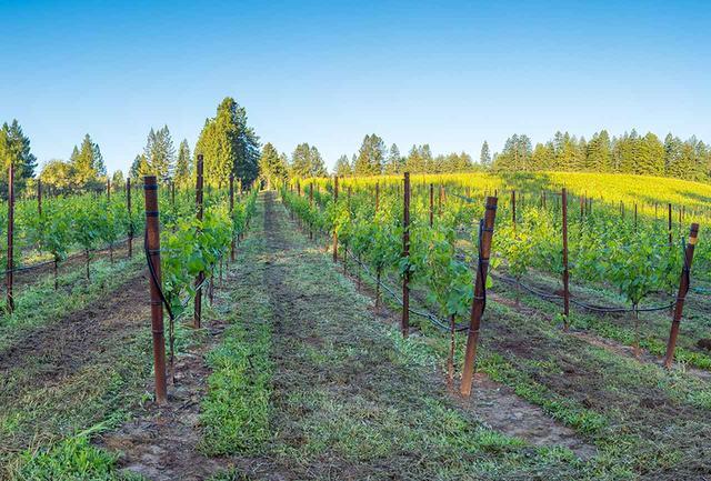画像: ユーキ・エステートの畑。レッドウッドの原生林を含む深い森に囲まれ、1860年から続く羊の牧場だった場所だ。20haの敷地のうち、約9haを環境の保護管理をする財団に寄付、5.7haの土地にブドウを植樹した COURTESY OF FREEMAN VINYARD & WINERY