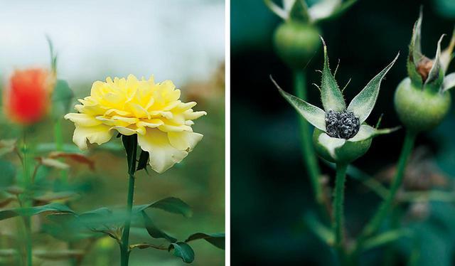 画像: (写真左)ピンクの薔薇の中に現れた突然変異種 (写真右)花が散ったあとの花房。成熟し、ここに種が宿る