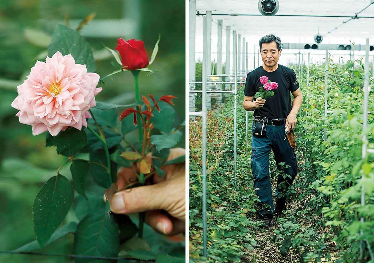 画像: (写真左)ダリアのような「雅(みやび)」。奥の蕾からこの花が開く (写真右)ふかふかと弾力のあるファームの土。化学肥料は最低限にし、栄養分は土にかぶせる剪定ずみの薔薇の枝、藁、米ぬかなどの有機物を微生物が分解して生み出す
