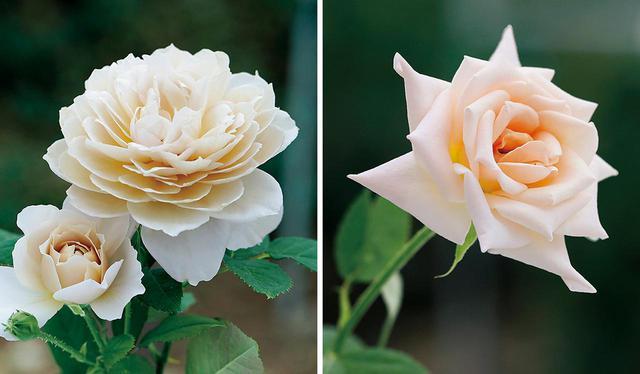 画像: (写真左)「本当は自分の名をつけようと思っていた」と國枝さんが言う「シャルロット・ペリアン」は、フランスの建築デザイナーの没後20年を記念した花。形状、大きさ、香りの三拍子が揃った、現時点での最高傑作と胸を張る (写真右)「プリンセス・マサコ」は、天皇、皇后両陛下のご成婚時に献上した薔薇。シャンパンゴールドの花弁と華やかな香りを持つこの花を、雅子さま自らが選ばれたという