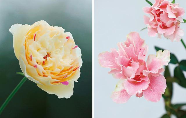 画像: (写真左) 風月 ふっくらとした形が愛らしい「風月」は、「友禅」から派生した斑入りの突然変異種。斑の入り方は一輪一輪異なり、ふたつとして同じ模様の薔薇は生まれない (写真右) かなた 個性派揃いの「和ばら」の中でも特に異彩を放つ形状の「かなた」。「誰もが心の内面に別の面をもっている。『あなた』ではない『彼方』、そんなものを感じさせる花」として、健一さんが命名した