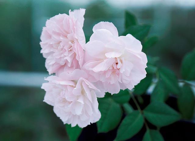 画像: 数本の花がまとまって咲くスプレータイプの「てまり」は、國枝さんの和ばらの原点ともいえる品種。チュールのような繊細な花弁、なよやかに垂れて風に揺れる様子、そしてやわらかな香りと、「和ばら」の特徴と美点を余すところなく備えている