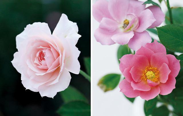 画像: (写真左) 美咲 姿の美しさから名づけられた「美咲」は、ダマスクローズの香りをもつ自慢の品種 (写真右) 葵~(風雅)~ 青みがかったミステリアスな色合いが魅力の「葵」にはいくつかの派生種があり、なかでも「風雅」は蓮の花のような東洋的な美を感じさせ、人気が高い。ちなみに「葵」は、息子・健一さんの長男の名をとって國枝さんが命名。「孫の名前の薔薇をすべて作る」との宣言どおり、これまで4人の孫すべての名を薔薇につけている