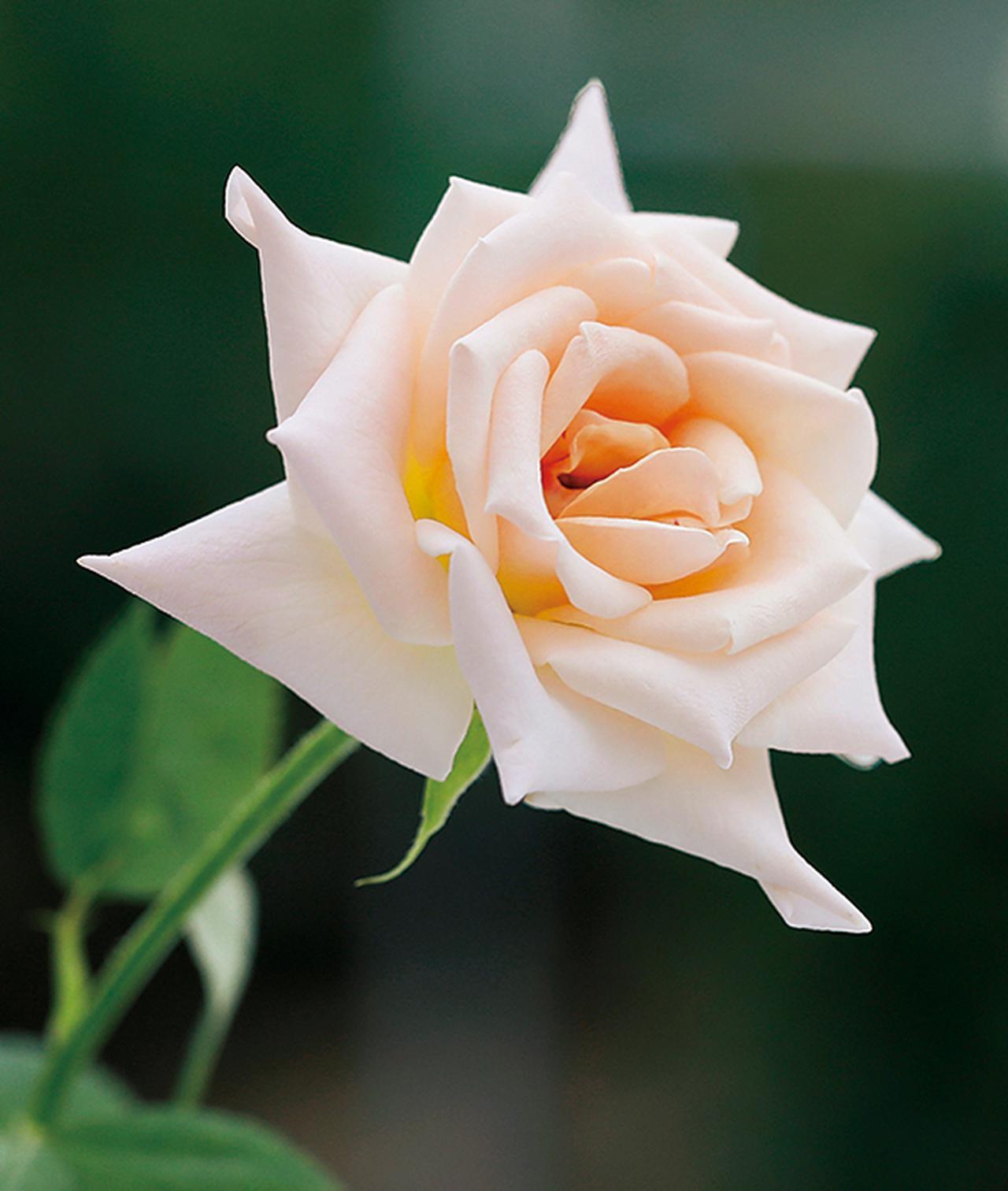 Images : 7番目の画像 - 「Rose Farm KEIJIが 生み出す唯一無二の「和ばら」。 その名前にこめられた想いを紐とく」のアルバム - T JAPAN:The New York Times Style Magazine 公式サイト