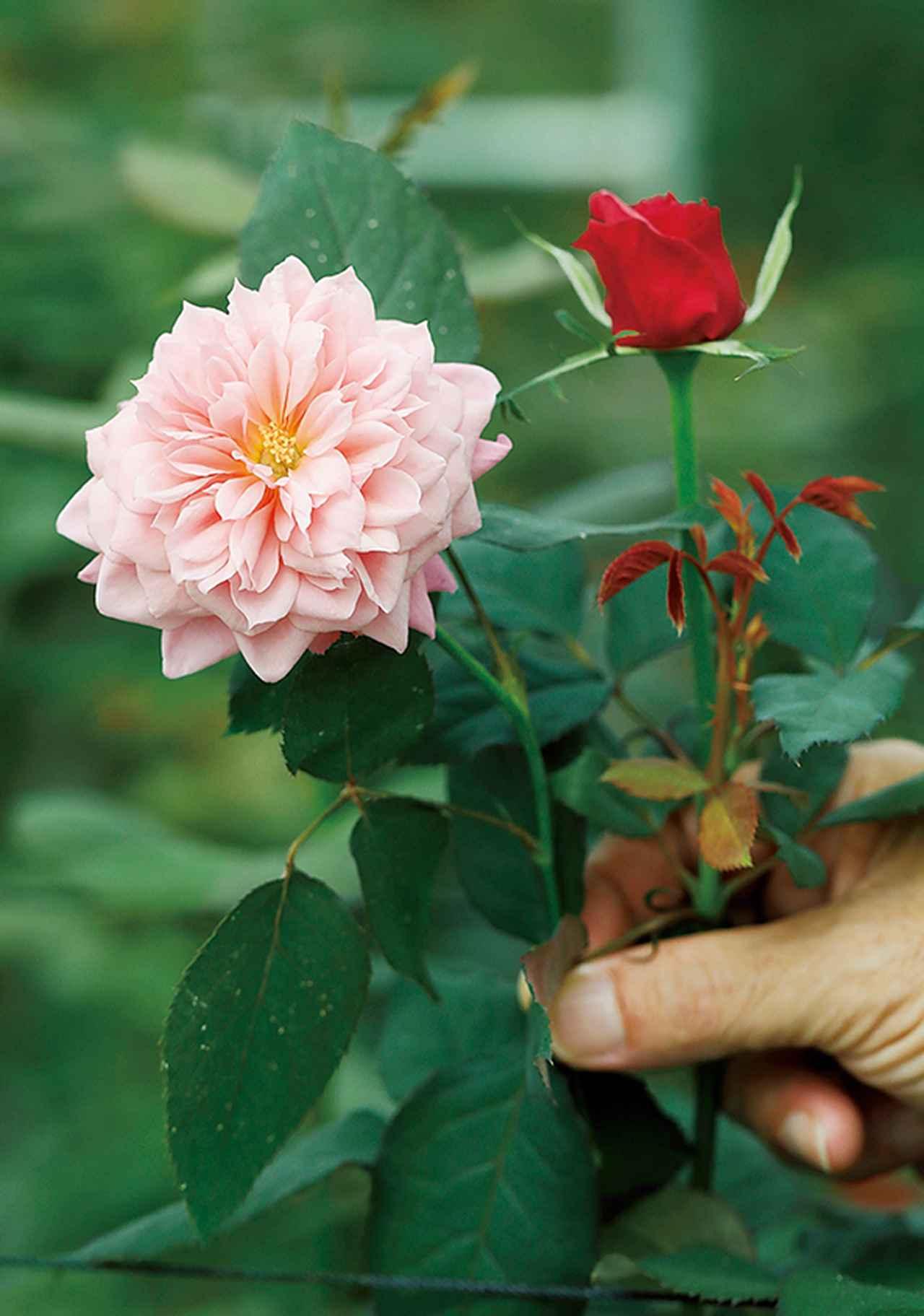 Images : 2番目の画像 - 「Rose Farm KEIJIが 生み出す唯一無二の「和ばら」。 その名前にこめられた想いを紐とく」のアルバム - T JAPAN:The New York Times Style Magazine 公式サイト