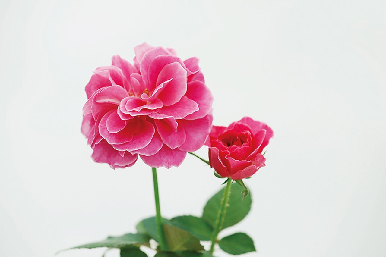Images : 11番目の画像 - 「Rose Farm KEIJIが 生み出す唯一無二の「和ばら」。 その名前にこめられた想いを紐とく」のアルバム - T JAPAN:The New York Times Style Magazine 公式サイト