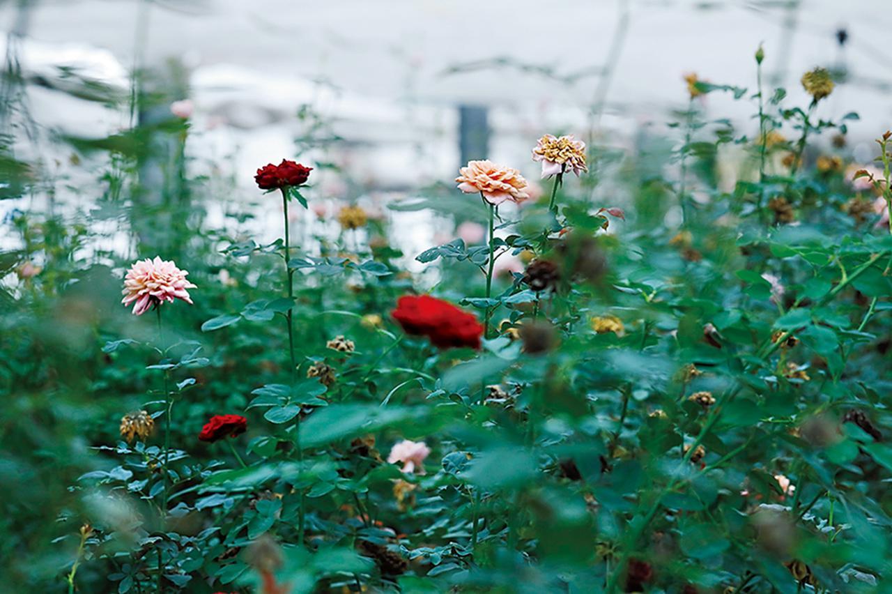 Images : 5番目の画像 - 「Rose Farm KEIJIが 生み出す唯一無二の「和ばら」。 その名前にこめられた想いを紐とく」のアルバム - T JAPAN:The New York Times Style Magazine 公式サイト