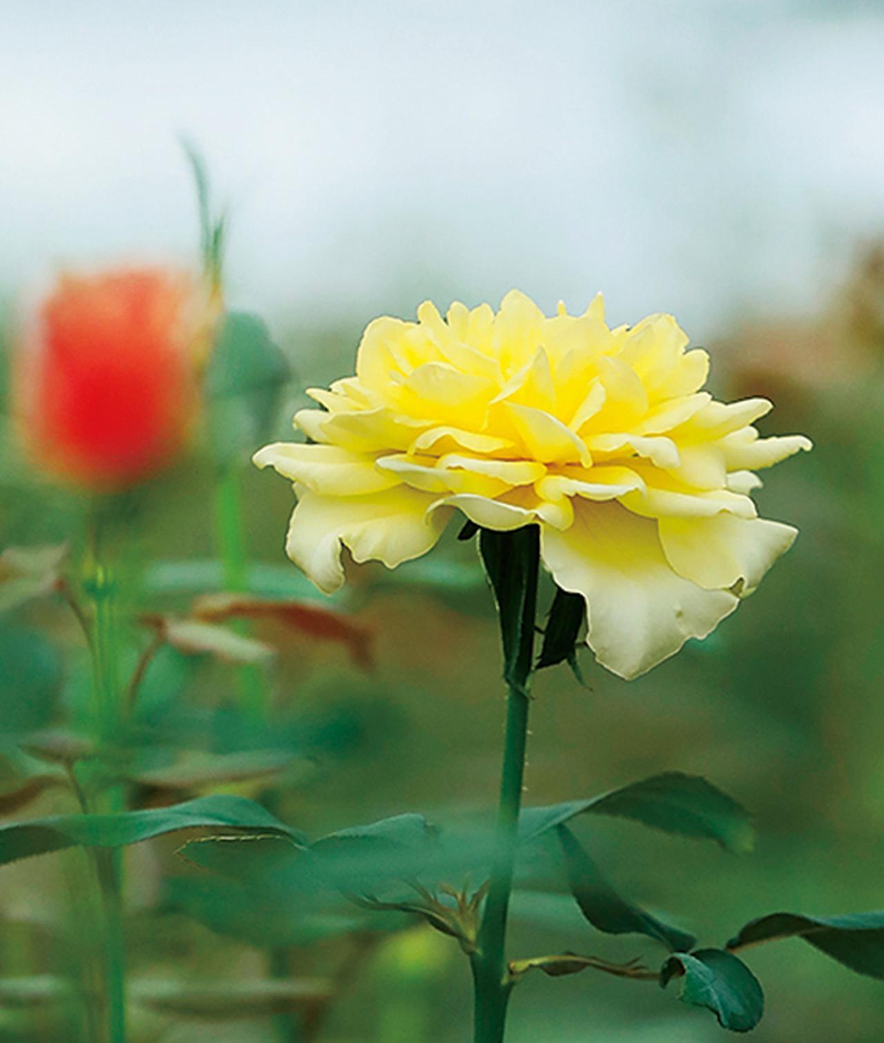 Images : 8番目の画像 - 「Rose Farm KEIJIが 生み出す唯一無二の「和ばら」。 その名前にこめられた想いを紐とく」のアルバム - T JAPAN:The New York Times Style Magazine 公式サイト