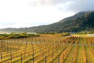 ブドウ畑と角田山