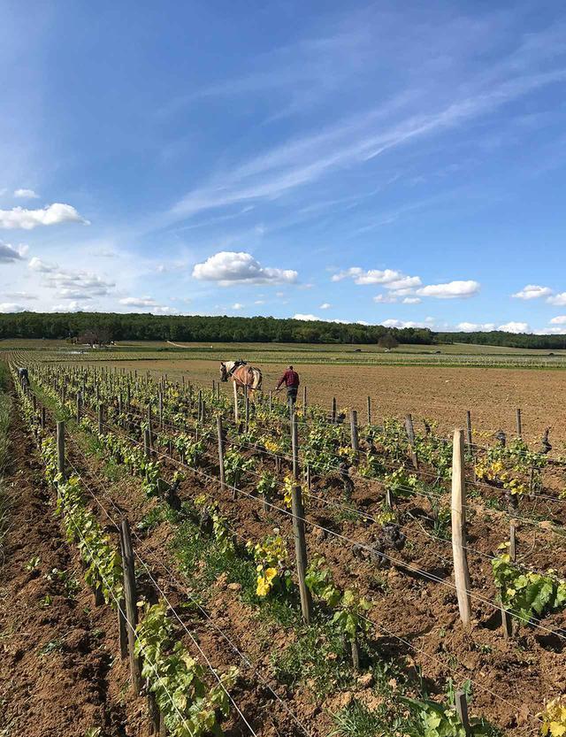 画像: ブドウ畑はビオディナミと馬耕での栽培を実践。馬が畑を歩くと土がやわらかく耕され、微生物が増えて土が活性化するのだという