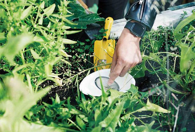 画像: ルッコラの種取りの様子