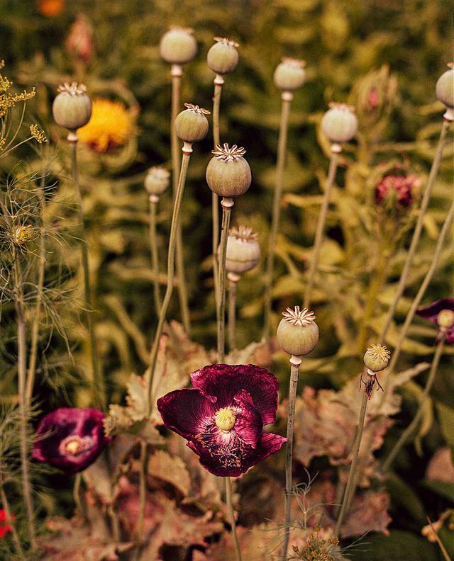 画像: 観賞用庭園のケシ