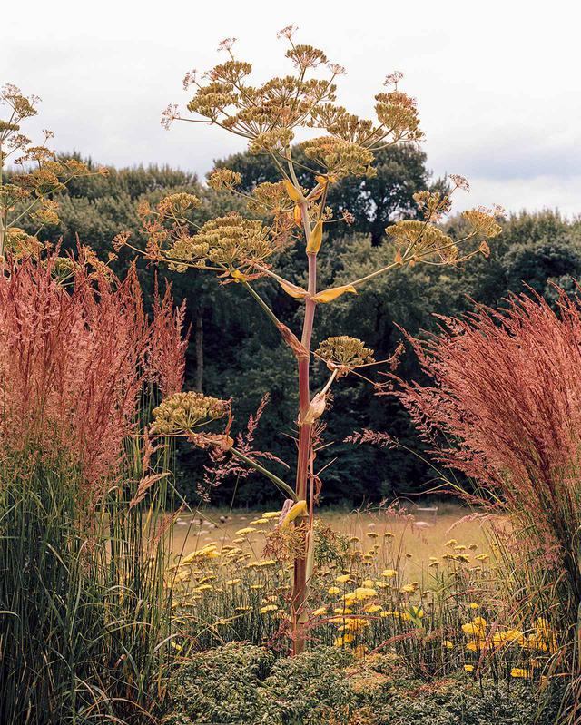 画像: オオウイキョウやアキレア「ムーンシャイン」(西洋ノコギリソウ)、黄褐色のノガリヤスなどの多年草が、向こうの暗い森を背景にくっきりと浮かび上がって見える