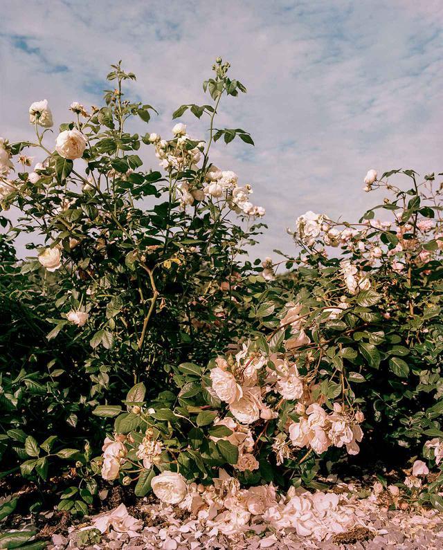 画像: ダン・ピアソンとヒュー・モーガンの自宅の切り花用花壇に咲き誇るバラ(イギリスのサマセット)