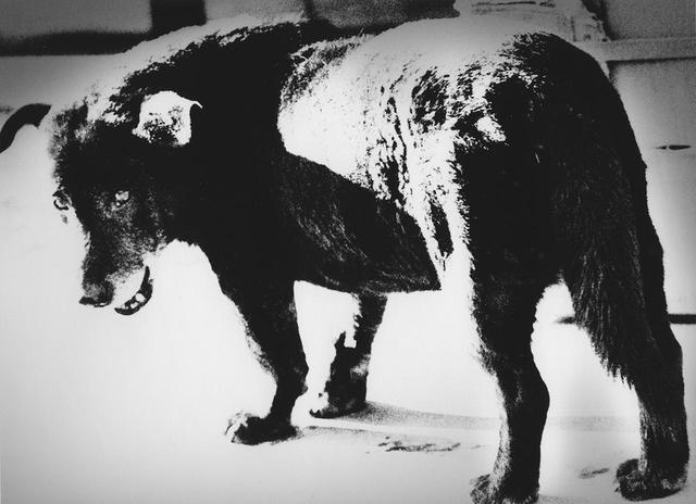 画像: 東京を撮影した作品に加え、会場の入り口には森山の代表作《三沢の犬》 (1971年)も展示 © DAIDO MORIYAMA PHOTO FOUNDATION