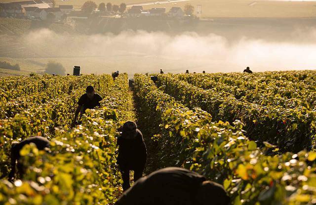 画像: 醸造チームは、毎日畑に出てブドウの生育状態をチェック