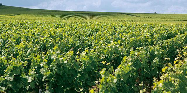 画像: ヴェルズネ村の畑。ここから生まれるブドウに、アイ村など、同じく特級畑のブドウをブレンド
