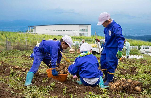 画像: 椀子ヴィンヤードの一角にあるジャガイモ畑では塩川小学校の子どもたちが課外授業の一環として栽培に取り組む。植え付けから収穫まで、スタッフもともに汗を流す