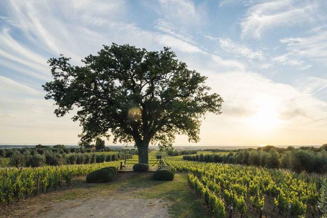 画像: 海岸から10キロほどの場所に位置する「ベッラーリア」と名づけられた「オルネッライア」の畑。カベルネ・ソーヴィニヨンなどが植樹されている