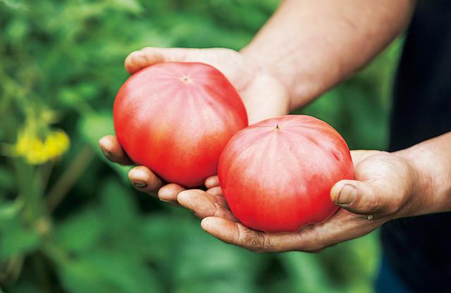 画像: 品種は「桃太郎ファイト」。すっきりした甘さで、うま味とのバランスがよく、青くささがない。農作業をしてきたたくましい手