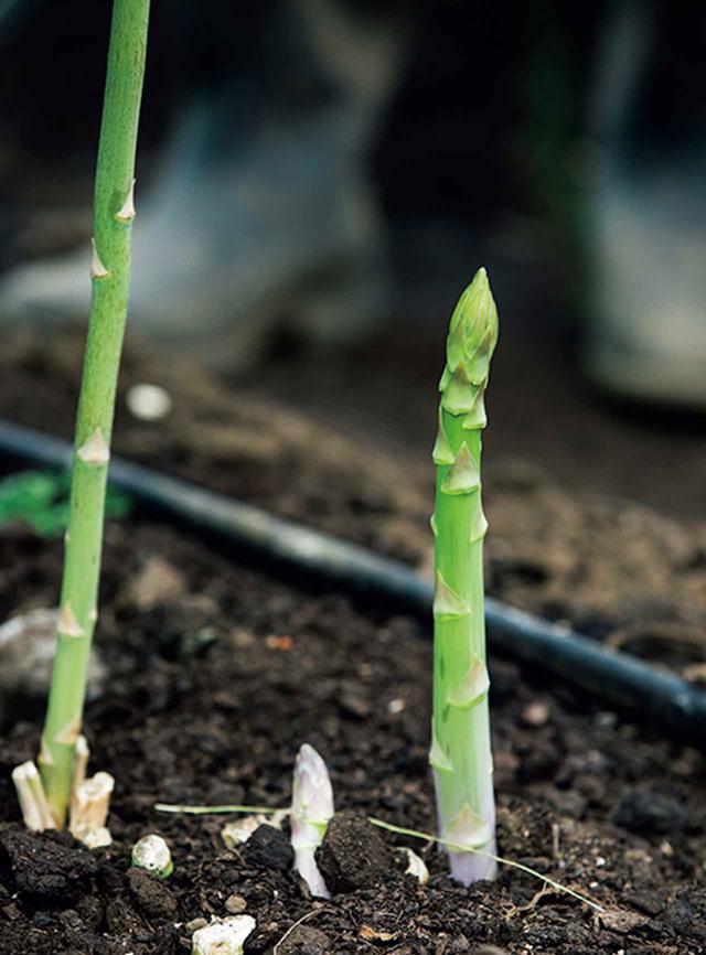 画像: アスパラの収穫期は春。 公式サイト から購入することができる