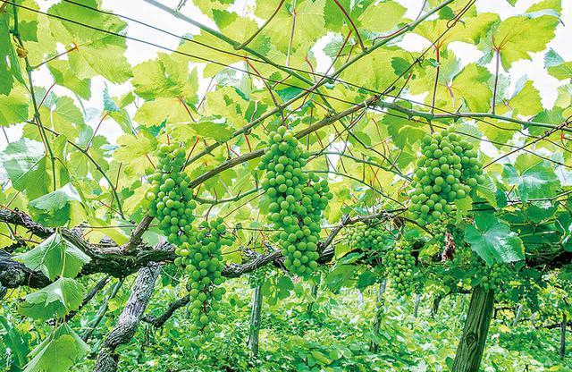 画像: 樹齢70年のマスカット・ベーリー A種の畑