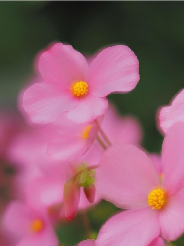 画像: 1コマめで右下の花にピントを合わせて撮影し、そのコマの半透過像を頼りに構図を一定に保つ。続いて、奥に見える花にピントを合わせて2コマめを撮影し、両コマを合成した。 撮影DATA●オリンパス・E-M1 MarkⅡ●60㎜レンズ●絞り優先AE●1/250秒●F2.8●露出補正+0.3●WB晴天●ISO200