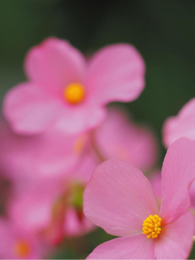 画像: マクロレンズで手前のベゴニア(画面右下)にピントを合わせる。当然、奥に見える花はボケてしまう。いわゆる、普通の撮り方である。