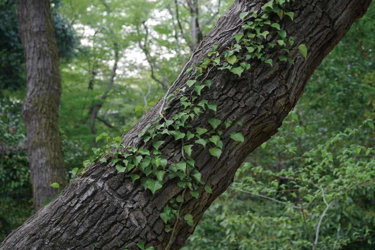 画像: 林の中の散策路で、ツタが絡まる木をねらう。三脚が使いづらい状況だったが、手持ち撮影が可能な「リアル・レゾリューション・システムⅡ」で、通常より高精細な描写が得られた。 ●28-105㎜レンズ(80㎜)●絞り優先AE●1/20秒●F8●露出補正-0.7●WB太陽光●ISO400